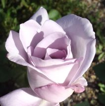 Purple Moon Rose