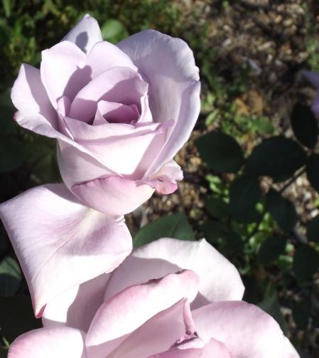 Purple Moon Rose