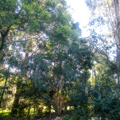 Tall trees everywhere - mainly natives with some fruit trees.