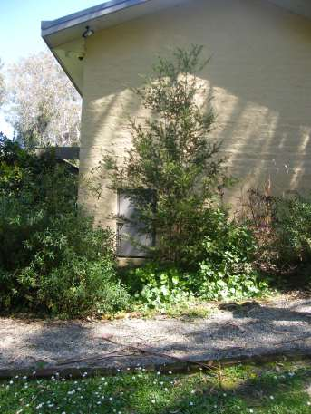 Uccello Lane - Early Days- Random tree at front - later planted a Forest Pansy tree.