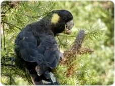 Yellow Tailed Black Cockatoo with Yellow cheeks