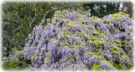 Badgers Wood - Wisteria