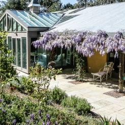 Wisteria is in bloom