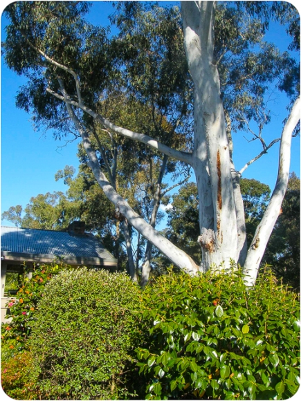 Ghost Gums - over 30 metres high
