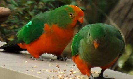 King Parrots - Taking a Stroll