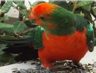 Birds at Uccello Lane - King Parrot
