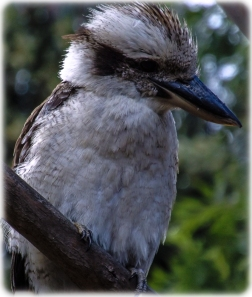 Kookaburra at Uccello Lane