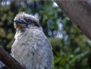 Bird - Kookaburra