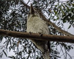 Kookaburra at Uccello Lane