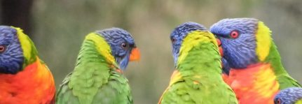 Birds - Lorikeet