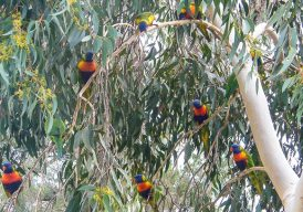 "Lorikeets in the tree they ""own"""