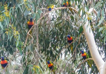 """Lorikeets in the tree they """"own"""""""