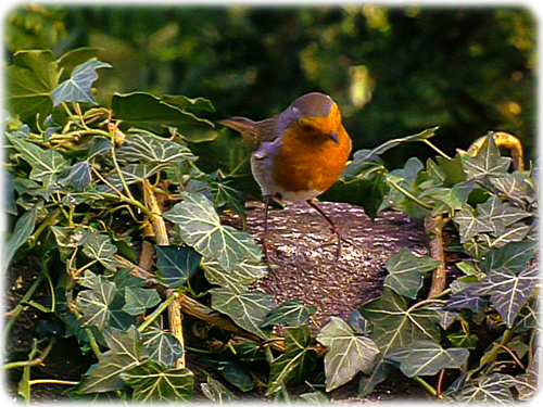 A Robin with Rose Cheeks that lives in the Secret Garden