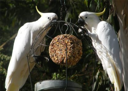 White cockatoo with the yellow punk hairstyle