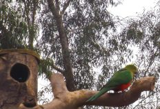 King Parrot on the Ned Kelly Bird feeder