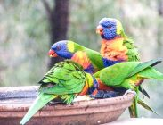 Lorikeets at Uccello Lane - At the watering hole - maybe a bath?