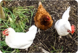 Chooks at Uccello Lane - Sassi, Diva and Gayle