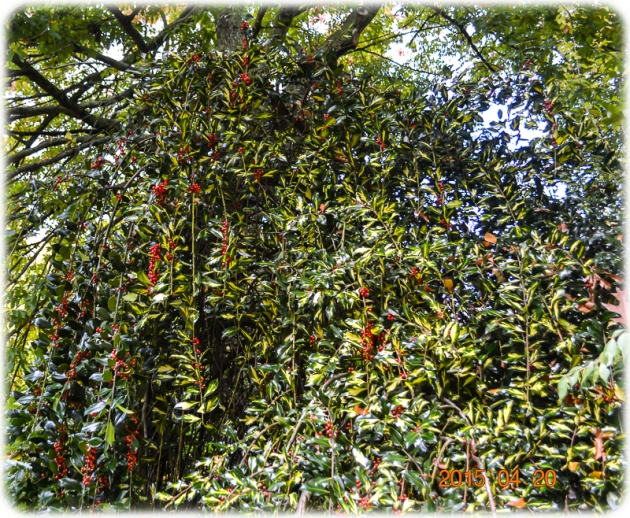 Mawarra by Edna Walling: Climbing Berry Bush