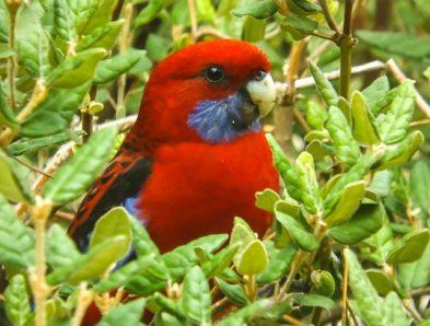 Crimson Rosella Bird
