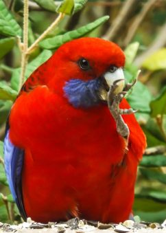 King Parrot Eating