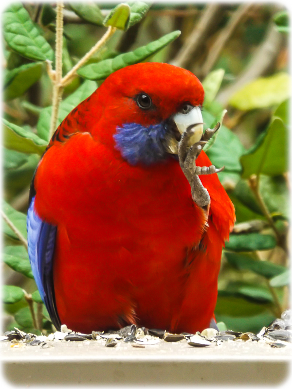 King Parrot Eating