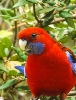Crimson Rosella Bird - On the look out