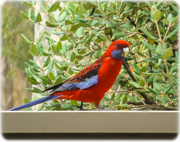 Rosella Eating