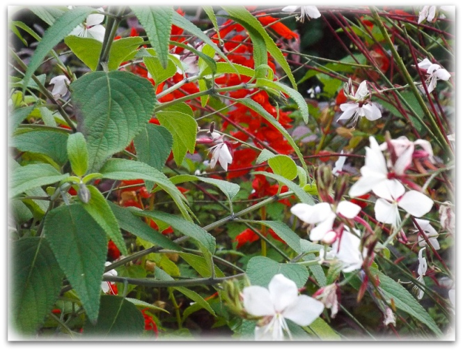 Red Salvias and Butterfly plants