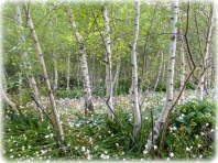 Silver Birch Clopse with underplanting