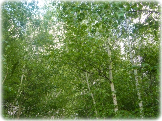 Looking up to the Birches