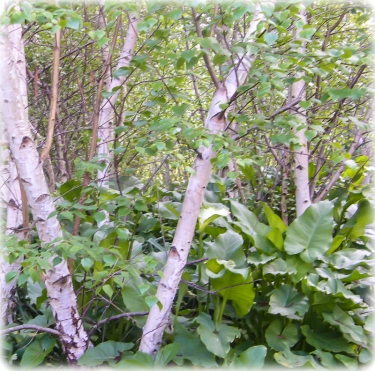 Helibores and Birch