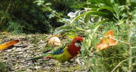 Eastern Rosella Bird (Platycercus Eximus Psittacidae)