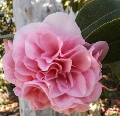 Camellia - Pink Frilled
