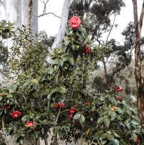 Camelia under the Ghost Gum
