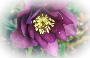 Hellebores - The Winter Rose