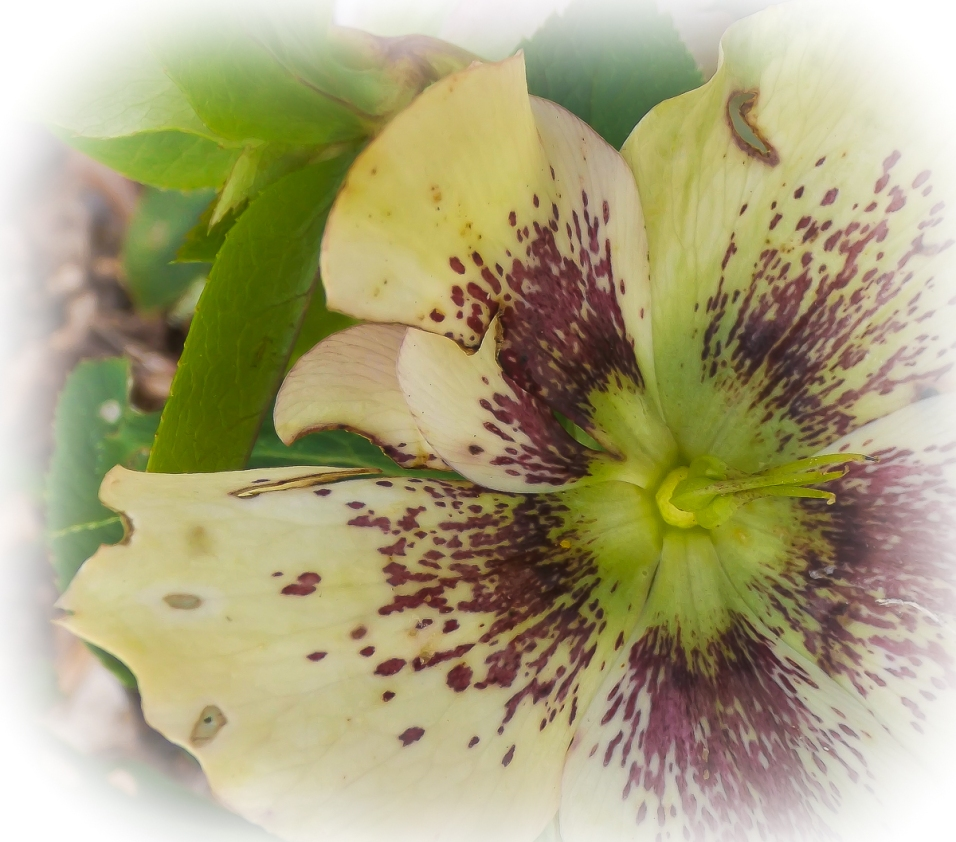 Hellebore - Primrose Yellow Spotted