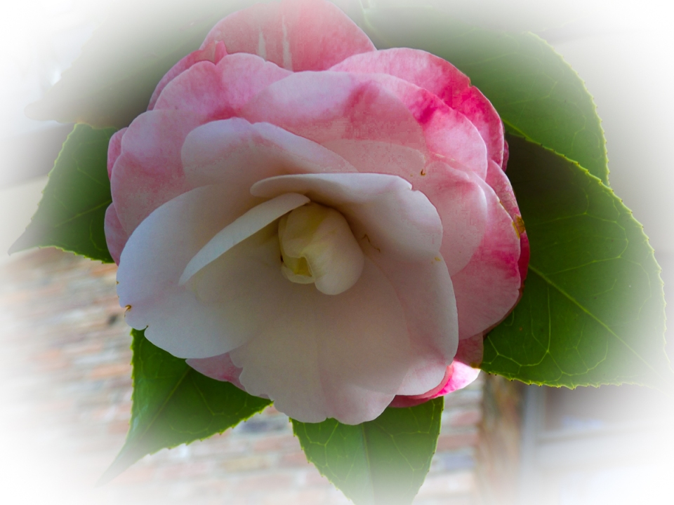 Camellias at Uccello Lane