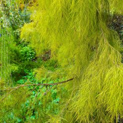 Tree Acacia Lime Magik is a very attractive, native tree with soft, lime green foliage.