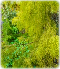 Acacia Lime Magik is a very attractive, native tree with soft, lime green foliage.