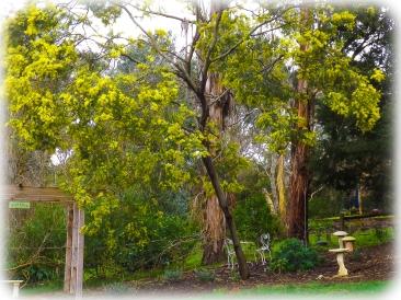 Wattle - Acacia