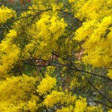 Wattle - Acacia Tree