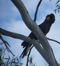 Yellow Faced Black Cockatoo