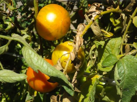 Edible Garden - Tomatoes