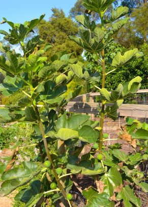 Edible Garden - Fig Tree
