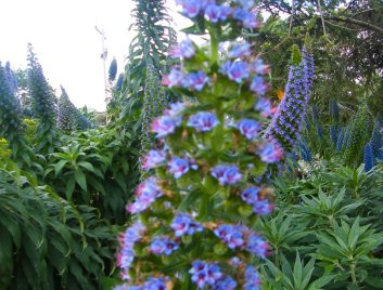 Heronswood - Foxgloves with Echium in the background