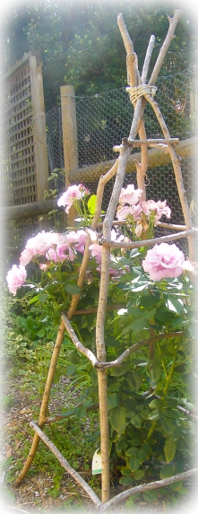 The roses love to climb the teepees