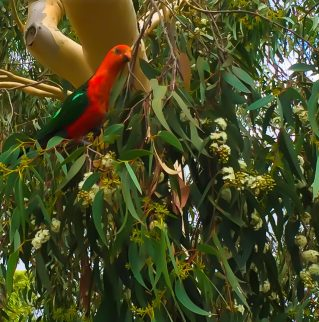 Gum Trees for the King Parrots