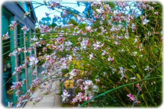 Butterfly Bush (Gaura) outside the conservatory window