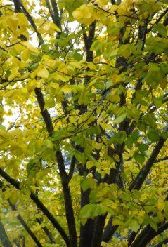 Uccello Lane - Elm Tree - Louis van Houtte