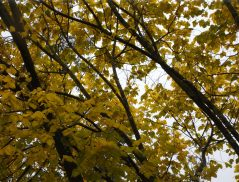 Elm Tree - Louis van Houtte has grown 3 metres this summer